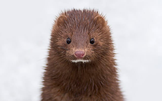 A close-up of a brown wild Mink animal with a cute expression on his face.